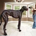A 44in Great Dane has been named the world's tallest dog by Guinness World Records